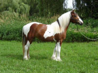 Athena of Stone Gate, 2004 Gypsy Vanner Horse mare