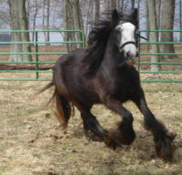 Athena, 2003 imported Gypsy Vanner Horse mare