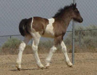 Athena, 2007 Gypsy Vanner Horse filly