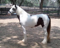 Autumn, 2011 Gypsy Vanner Horse filly