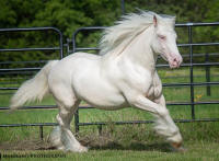 SD Avalanche, 2014 Gypsy Vanner Horse colt