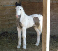 Kinder's Aveshei, 2011 Gypsy Vanner Horse filly