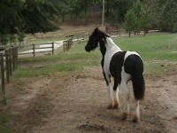 BB Colt, 2007 Gypsy Vanner Horse foal