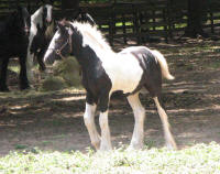 GG The King's Crush, 2016 Gypsy Vanner Horse filly