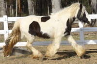 Babydoll's Filly of Lexlin, 2008 Gypsy Vanner Horse mare
