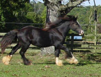 GG The Bachelor, 2008 Gypsy Vanner Horse colt