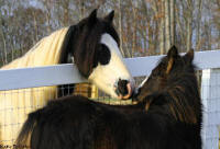 Tonka's Baksheesh, 2007 imported Gypsy Vanner Horse filly