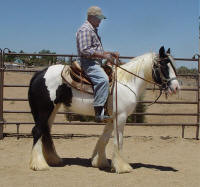 Bali Rose, 2007 Gypsy Vanner Horse filly