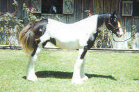 Bali, Gypsy Vanner Horse yearling filly