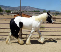 Gold Rush's Bali Rose, 2007 Gypsy Vanner Horse filly