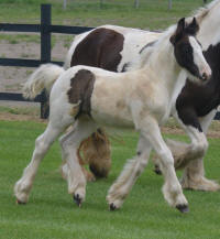 N'Co Zorro's More Bang For Your Buck, 2015 Gypsy Vanner Horse colt