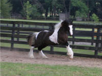 Latcho's Banner, 2005 Gypsy Vanner Horse colt