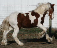 WCF The Red Baron, 2008 Gypsy Vanner Horse colt