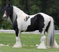 Bees Knees, 2003 imported Gypsy Vanner Horse stallion