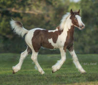 LV Valention's Bella Rose, 2013 Gypsy Vanner Horse filly
