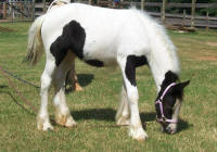 Southern Belle BPF, 2006 Gypsy Vanner Horse filly