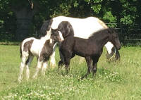 TMR The Big Bok Bang, 2016 Gypsy Vanner Horse colt