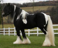 Billy the Kid, 2001 imported Gypsy Vanner Horse stallion
