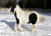 Gypsy Kicking Bird, 2008 gypsy Vanner Horse filly