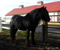 Black Opal, 2004 imported Gypsy Vanner Horse mare