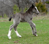 Feathered Gold Black Satin,2014 Gypsy Vanner Horse filly