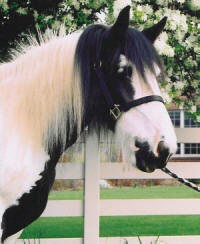 WW Blaithin, imported Gypsy Vanner Horse mare