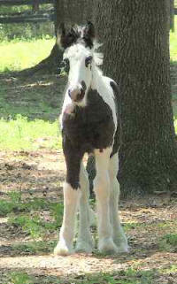 Blue, Gypsy Vanner Horse filly