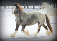 Blue Bell of Lexlin, 2006 Gypsy Vanner Horse mare