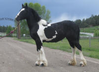 SSFR Blue Chip, 2008 Gypsy Vanner Horse filly