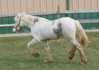 OMF's Blue Diamond, 2010 Gypsy Vanner Horse filly