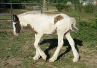Blue Moon Crystal, 2015 Gypsy Vanner Horse filly