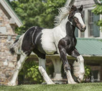 SWF Summer's Isabella Blue Rose, 2013 Gypsy Vanner Horse filly