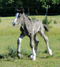 Feathered Gold Blue Torrent, 2010 Gypsy Vanner Horse colt