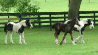 GG Latcho's Blue, 2005 Gypsy Vanner Horse filly
