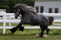 Blue Steele, 2007 imported Gypsy Vanner Horese gelding