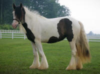 Bonny of Lexlin, 2008 imported Gypsy Vanner Horse mare