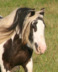 Bonny, imported Gypsy Vanner Horse mare