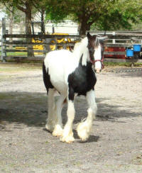 Queen B, 2007 Gypsy Vanner Horse filly
