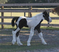 WR Boo, 2007 Gypsy Vanner Horse filly