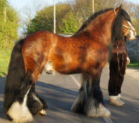 Alfie of Brackenhill, Gypsy Vanner Horse stallion in the UK