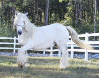 Bridget of Lexlin, 2001 imported Gypsy Vanner Horse mare