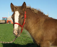 WW Brighid Lasair, 2008 Gypsy Vanner Horse filly