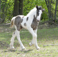 Feathered Gold Brishen, 2010 Gypsy Vanner Horse colt