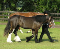 Splash of Indigo, 2006 Gypsy Vanner Horse filly
