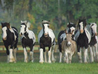 WR Prince Navarre, 2007 Gypsy Vanner Horse colt