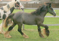 OMF's Cali Belgique, 2010 Gypsy Vanner Horse filly