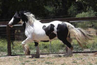 GG Cameo, 2006 Gypsy Vanner Horse filly
