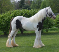 N'Co Zorro's Can't Get Enough of Me, 2014 Gypsy Vanner Horse filly