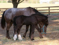 WR Cappuccino, 2009 Gypsy Vanner Horse colt
