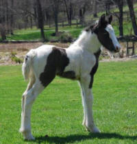 Carnival, 2009 Gypsy Vanner Horse colt